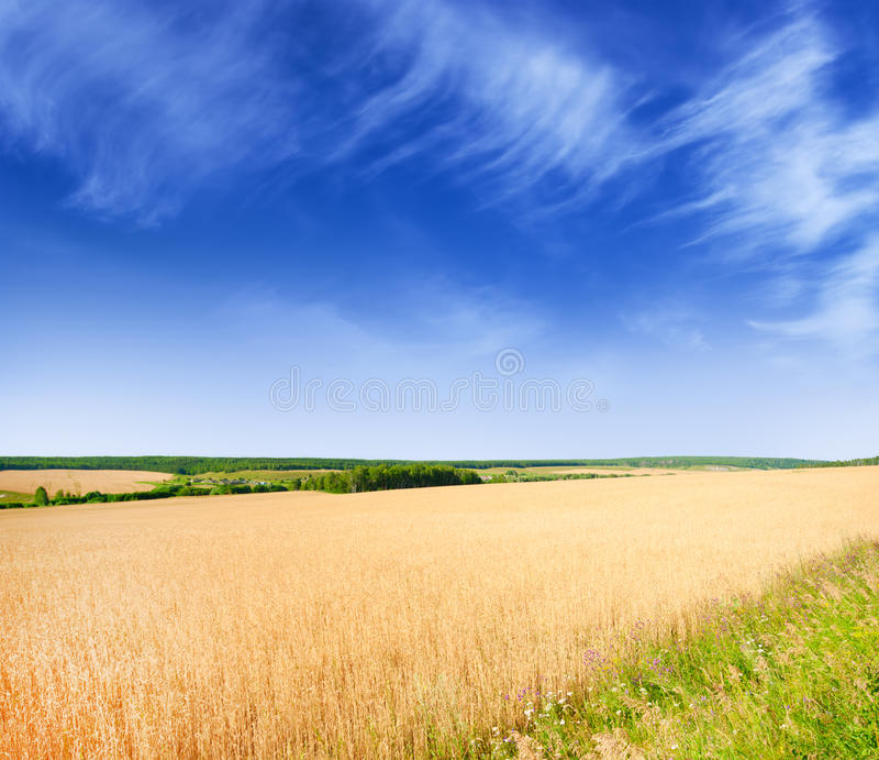 Download Wheat field stock image. Image of blue, horizon, cloudy - 20496009