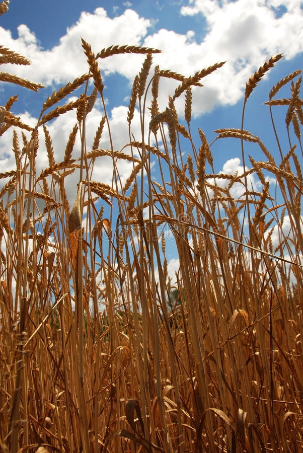 Download Wheat field stock image. Image of kern, grass, cloud - 20991815