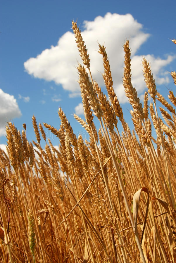 Download Wheat field stock image. Image of healthy, crop, harvest - 20991893