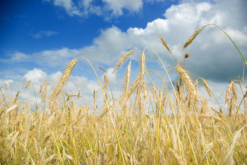 Download Wheat field stock image. Image of plant, healthy, landscape - 21417161