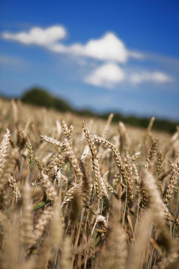 Download Wheat in the field stock photo. Image of vegetarian, farm - 23027976
