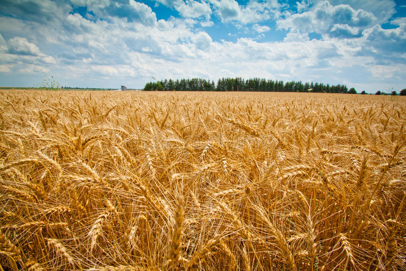 Download Wheat Field stock image. Image of planted, additive, grain - 23102611