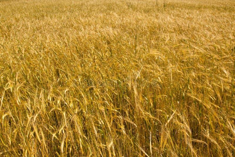 Download Wheat field stock image. Image of season, nature, field - 24308665