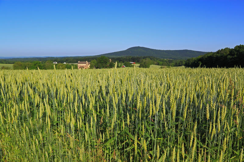 Download Wheat Field Royalty Free Stock Photography - Image: 24838557