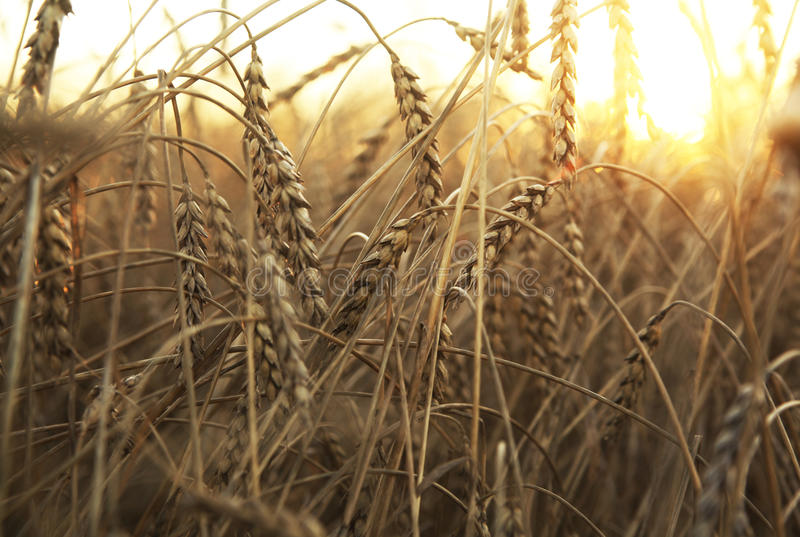 Download Wheat Field Royalty Free Stock Photos - Image: 25224568