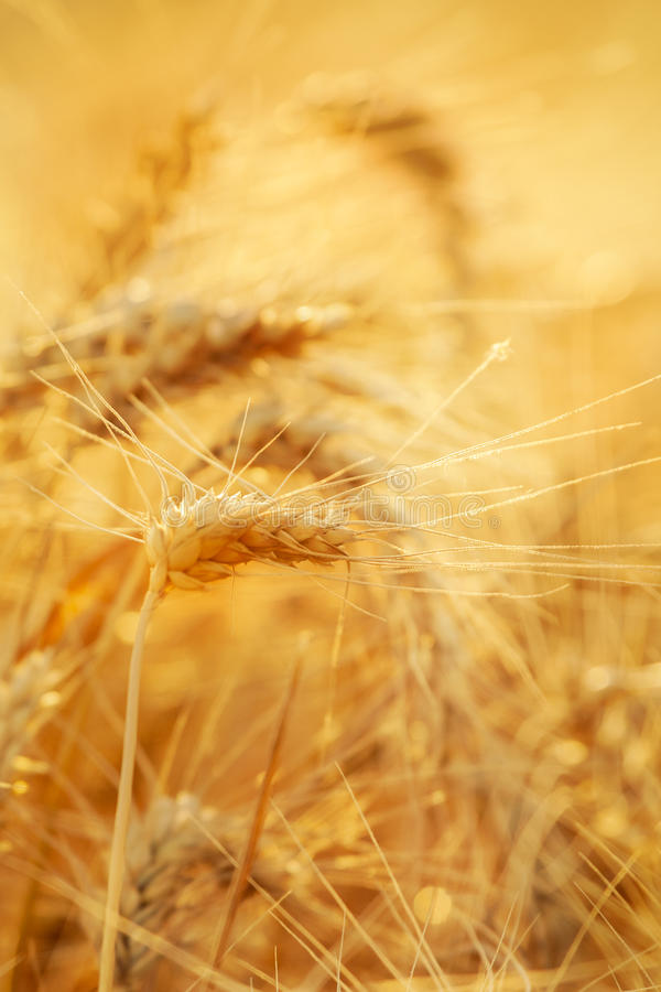 Download Wheat field stock photo. Image of stem, focus, agriculture - 25503168