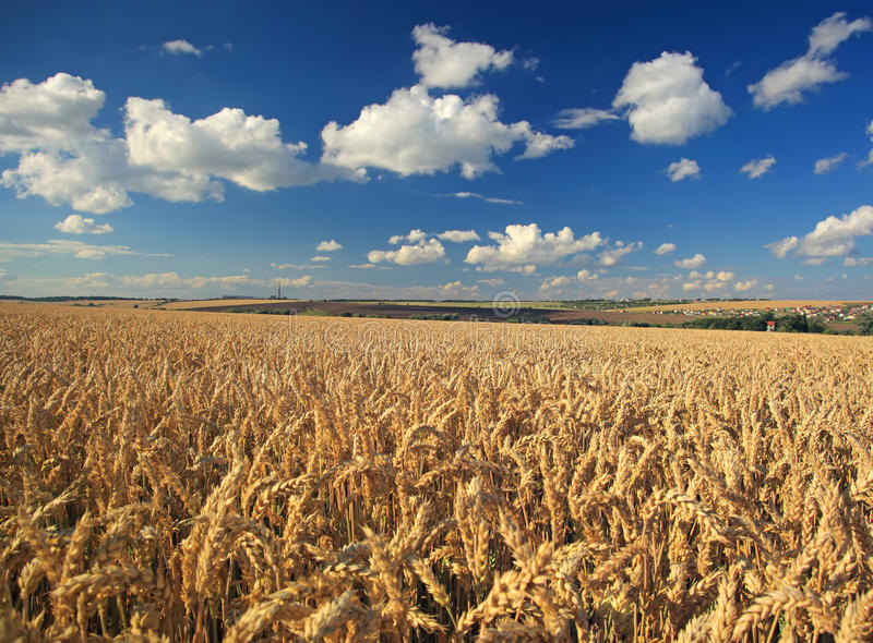 Download Wheat field stock photo. Image of country, plant, nature - 25866834