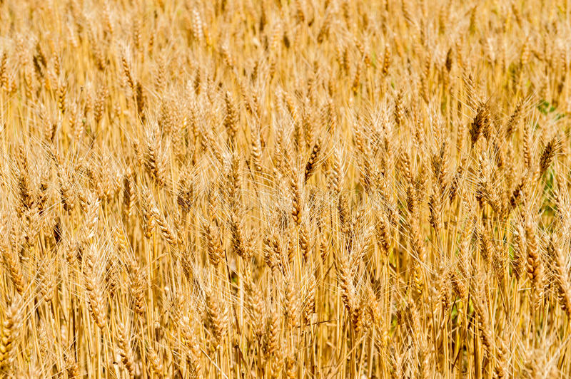 Download Wheat field stock photo. Image of grain, outdoors, farm - 25880716