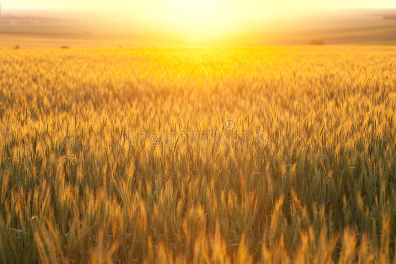 Wheat field. At sunset hot summer day royalty free stock image