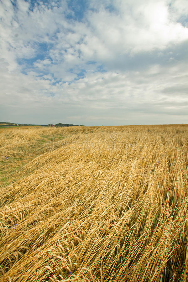 Download Wheat field stock image. Image of head, yellow, nature - 26005389