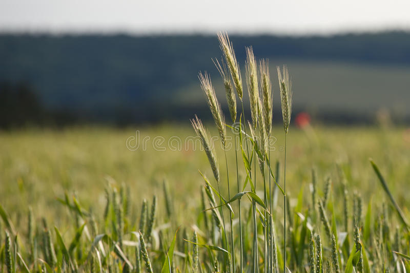 Download Wheat field stock photo. Image of corn, farm, crop, ecological - 26591020