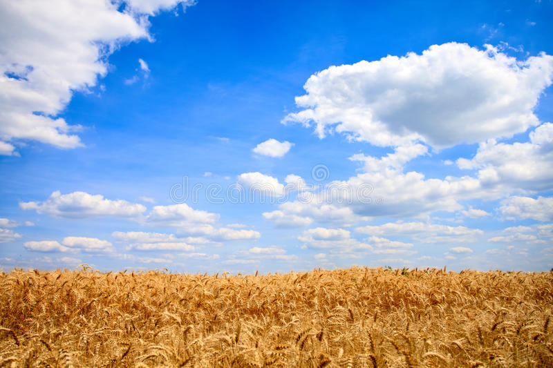 Download Wheat field stock image. Image of healthy, freedom, country - 27527423