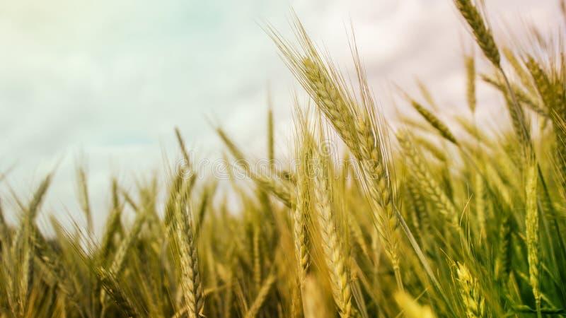 Wheat field stock photos