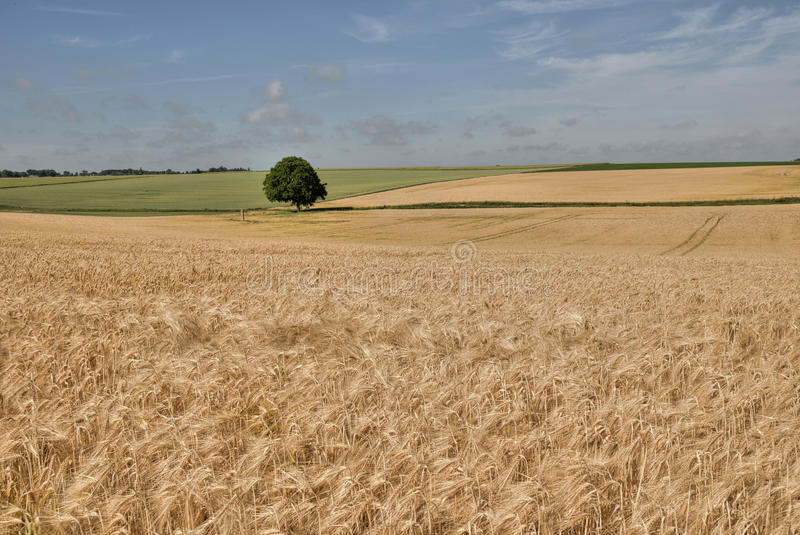 Download Wheat Field Stock Photography - Image: 29441312