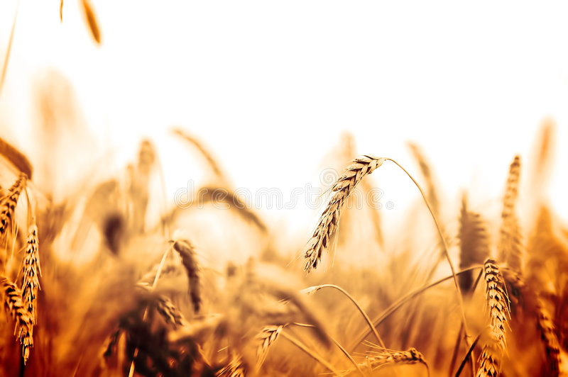 Download Wheat field stock image. Image of close, background, crop - 3430565