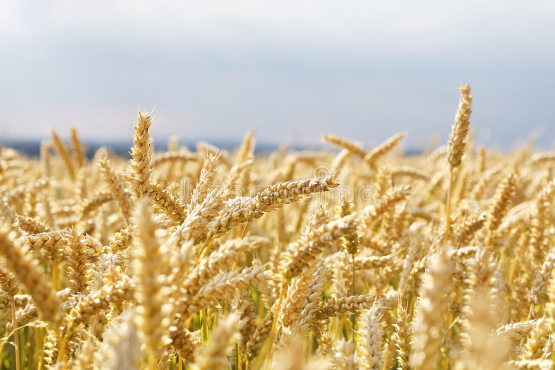 Download Wheat Field Stock Image - Image: 5747291