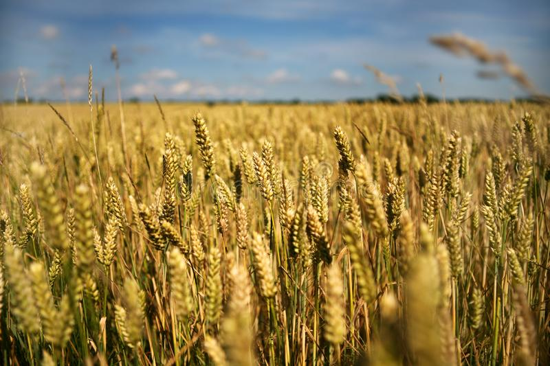 Wheat Field Free Stock Photos