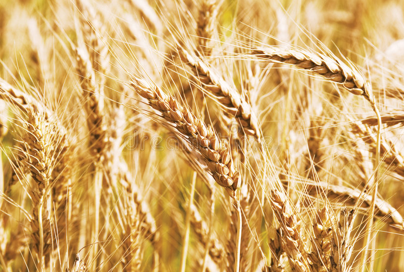 Download Wheat field stock image. Image of agriculture, agricultural - 6057665