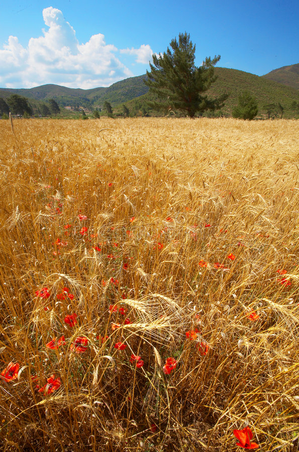 Free Wheat Field Stock Photography - 6338212