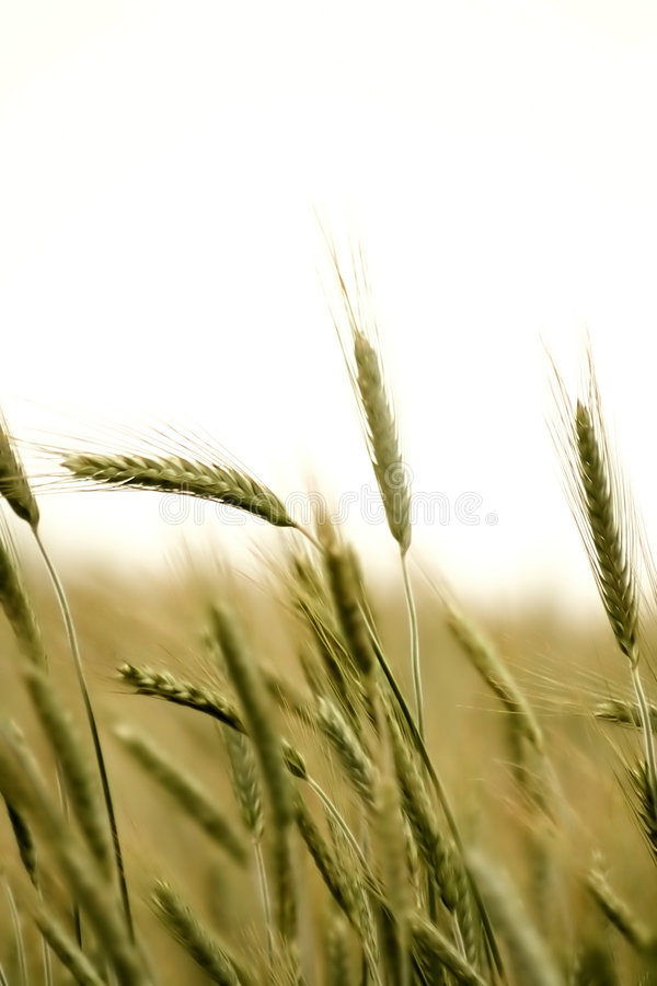 Download Wheat field stock photo. Image of bread, seed, harvest - 700206