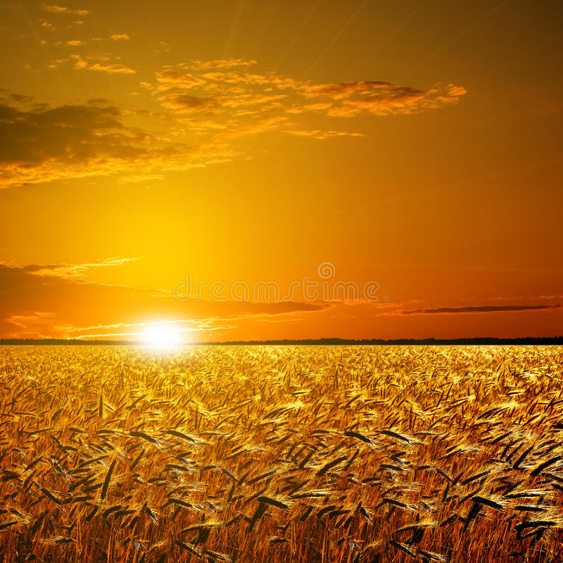 Download Wheat field. stock photo. Image of harvest, dawn, nature - 9688796