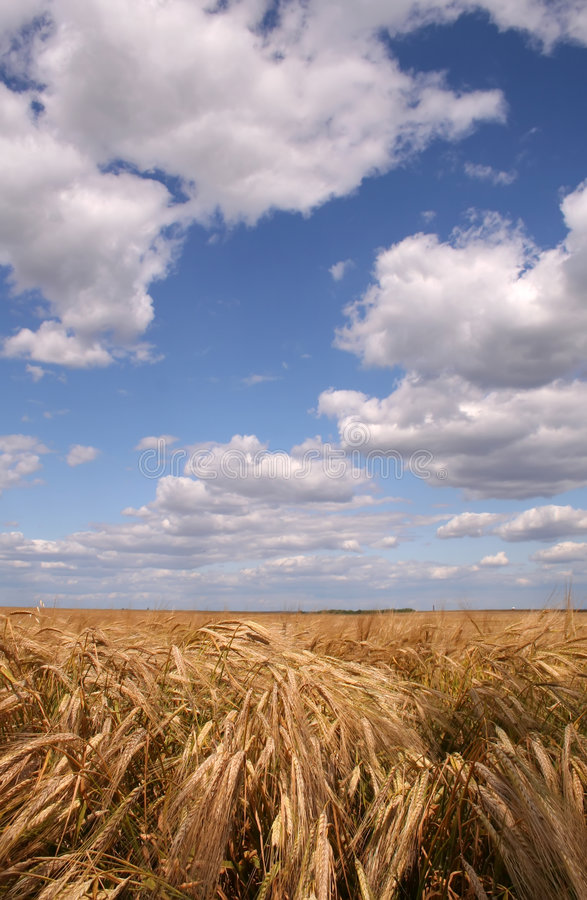 Wheat field. Under white clouds on blue sky stock image