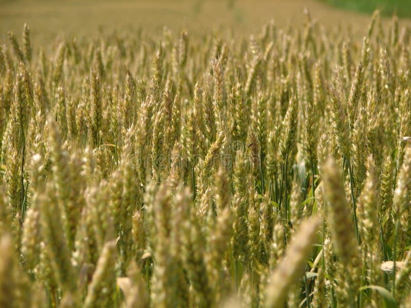 Download Wheat field stock photo. Image of food, farm, farmland - 996978
