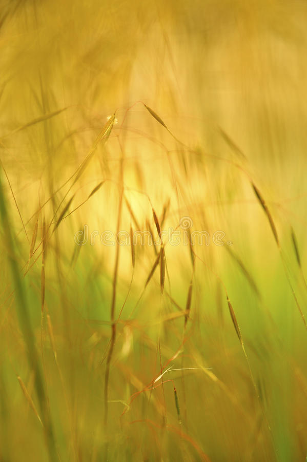 Wheat field abstraction royalty free stock photo