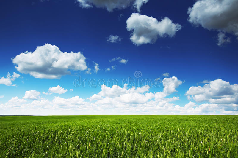 Wheat field against blue sky with white clouds. Agriculture scene stock image