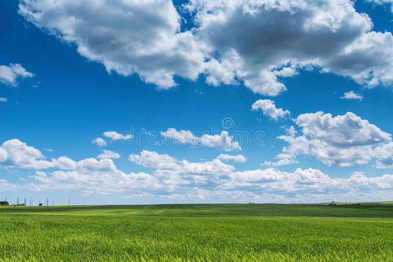 Wheat field against blue sky with white clouds. Agriculture scene royalty free stock image