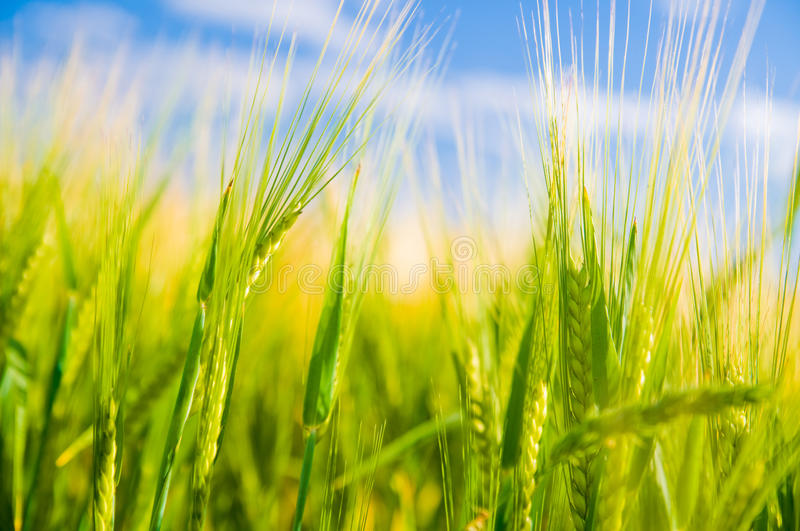 Wheat field. Agriculture stock photo