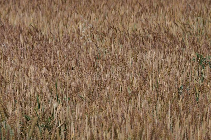 Wheat field as if waves goes, summer day ripens grain royalty free stock image