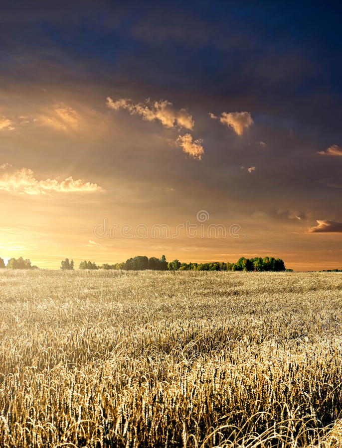 Free Wheat Field At Sunset Royalty Free Stock Photos - 21361108