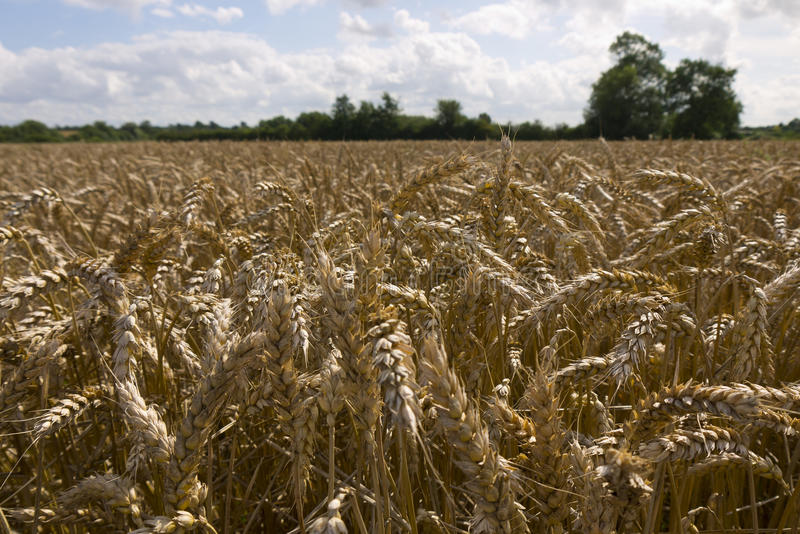Wheat field. Wheat awaits harvest in a field in Bedfordshire England UK royalty free stock photography