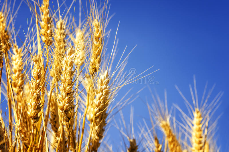 Wheat field. Backdrop of ripening ears of yellow wheat field on the sunset cloudy orange sky background stock photo
