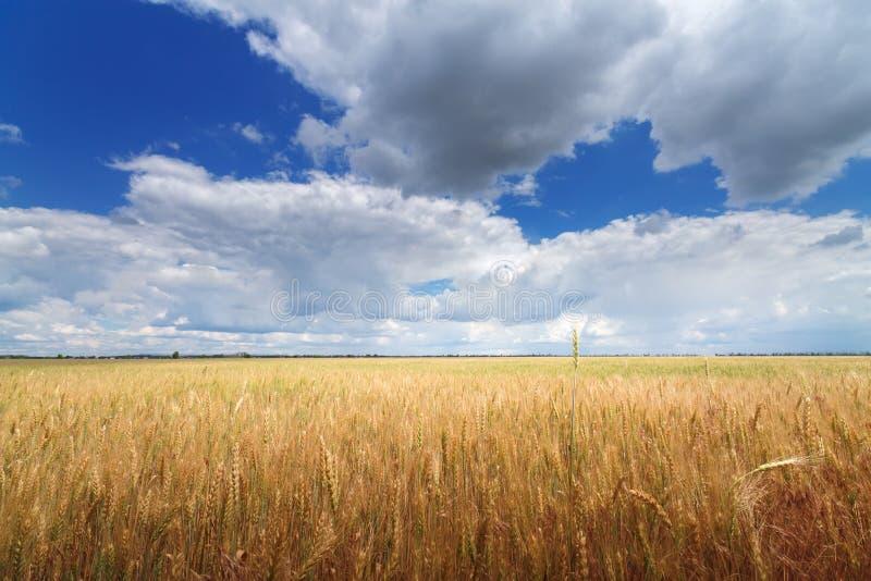 Wheat field / wheat field on the background cornfield Ukraine royalty free stock photo