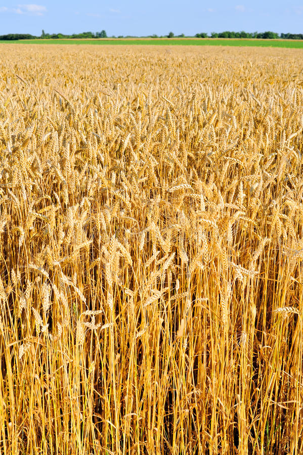Download Wheat field stock photo. Image of illuminated, crop, plant - 32355062
