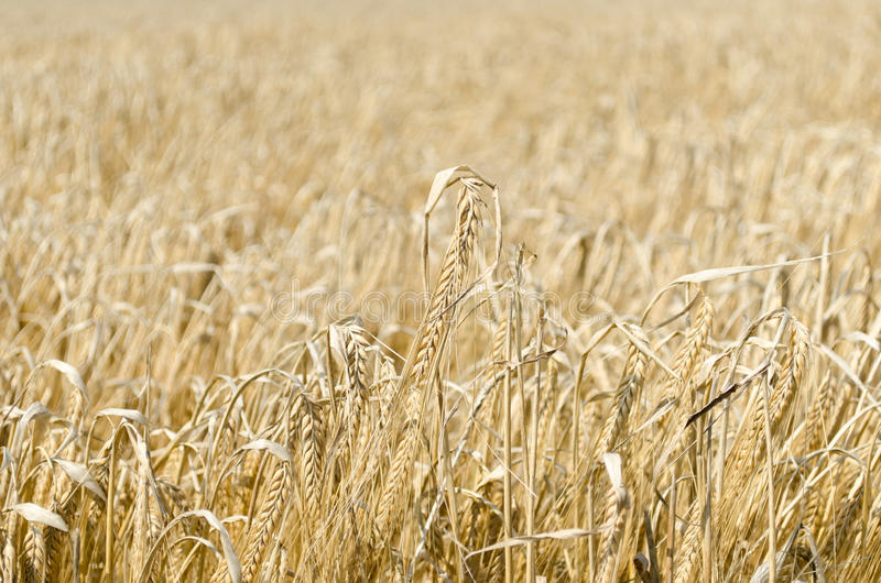 Wheat field background royalty free stock images