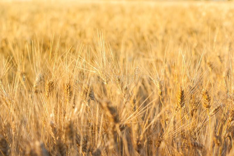 Wheat field background. Wheat field on the bright summer day royalty free stock photography