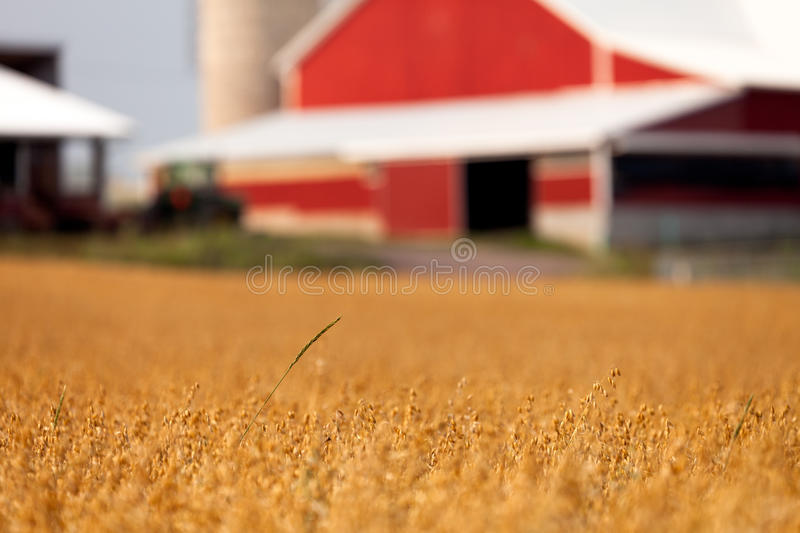 Wheat field and barn. Shallow focus on single green stalk of distinct grain sticking above field of oats, with an out of focus red barn in background royalty free stock image