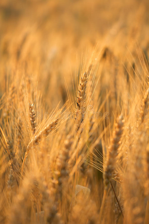 Download Wheat Field Bathing During Sunrise Stock Photo - Image of growth, horizontal: 31900550