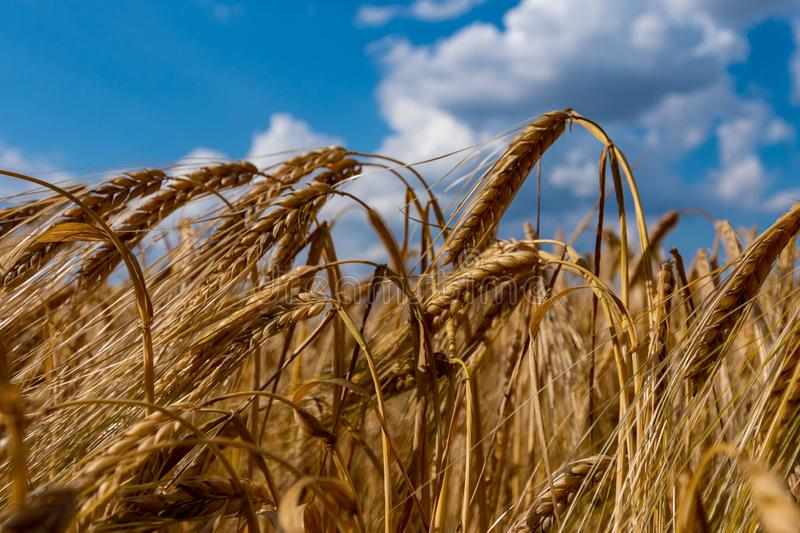 Wheat field with a blue partly cloudy sky. Beautiful landscape with ears of golden wheat close up royalty free stock images