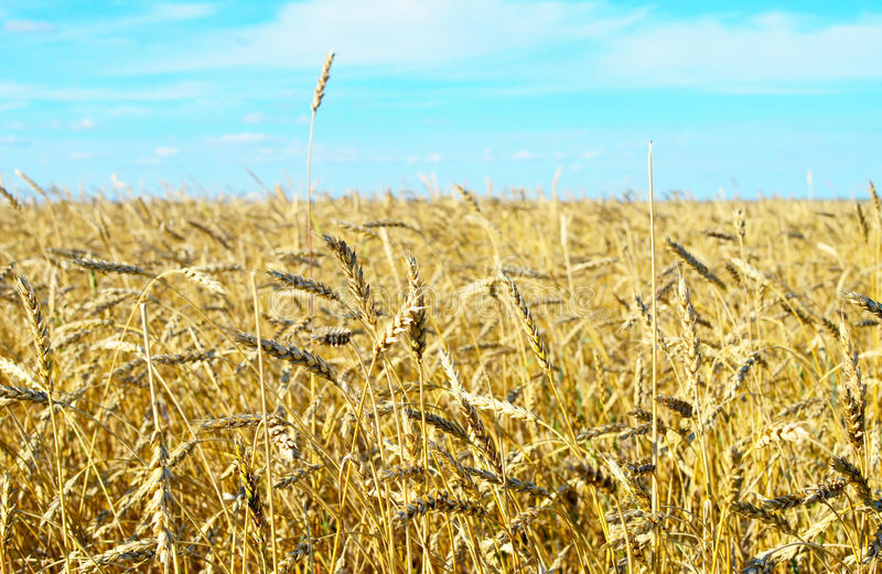 Download Wheat field stock image. Image of plant, agriculture - 33786315