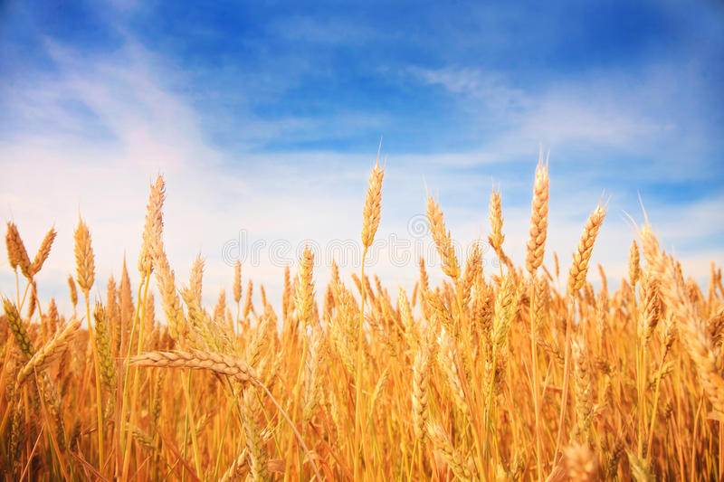 Wheat field and blue sky. On background stock photos
