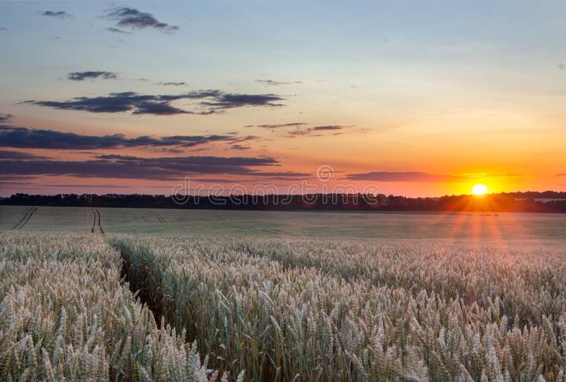 Wheat field with blue sky with sun and clouds against the backdrop stock photography