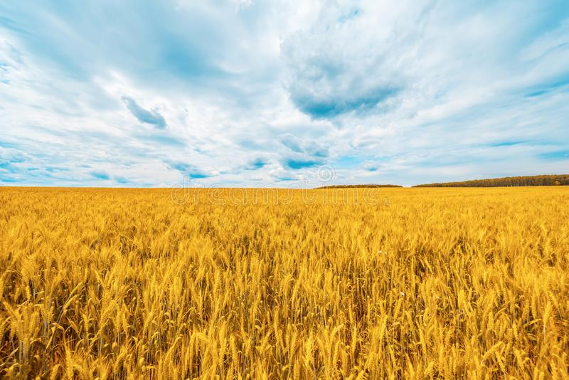 Wheat field with blue sky with sun and clouds. stock photo