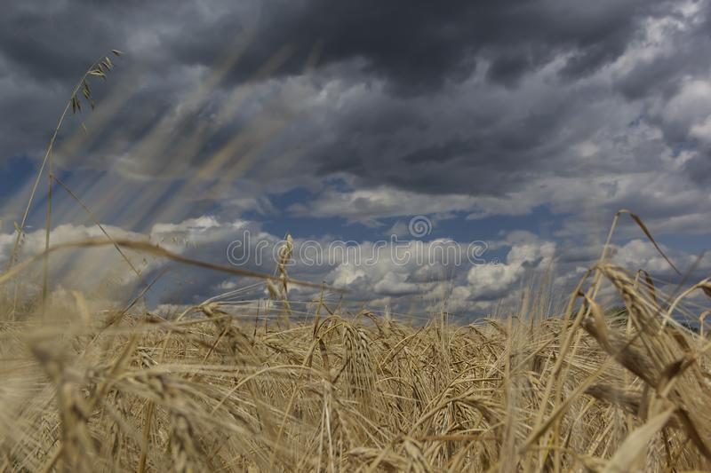 Wheat field with blue sky with sun and clouds, landscape background royalty free stock photography