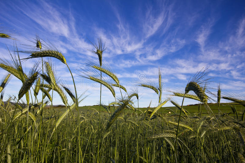Wheat field and blue sky with white clouds stock photo