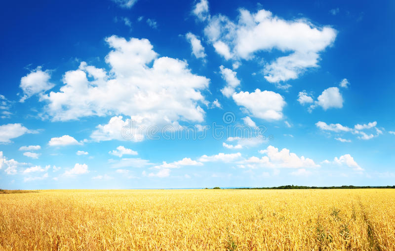 Wheat field and blue sky with white clouds royalty free stock photos