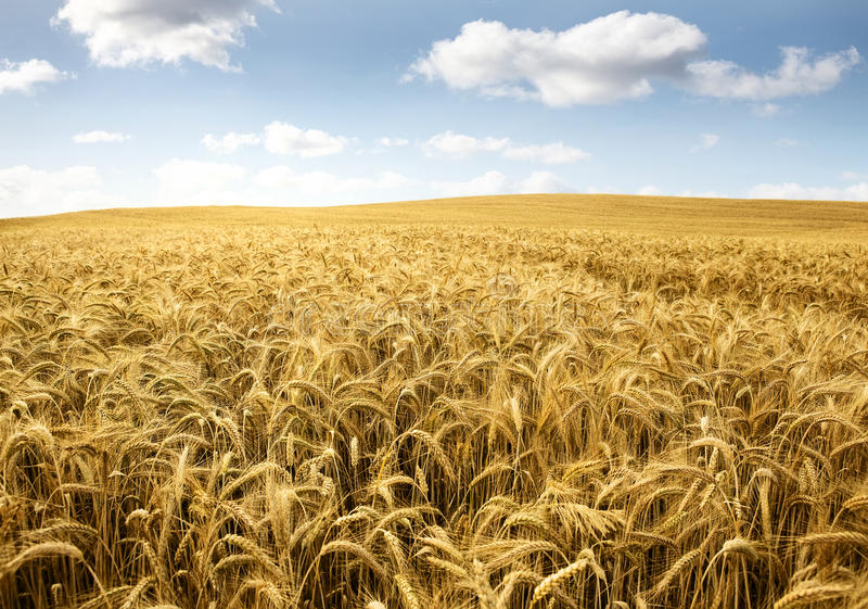 Wheat field. On a bright sunny day royalty free stock photography